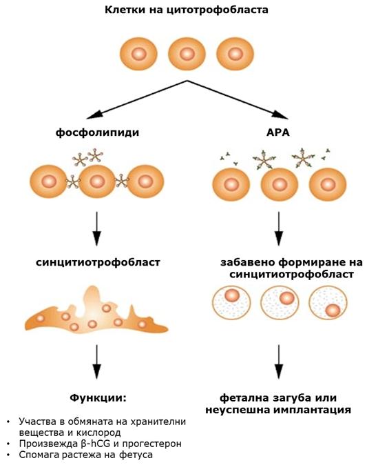 Механизъм на действие на анти фосфолипидни антитела при безплодие
