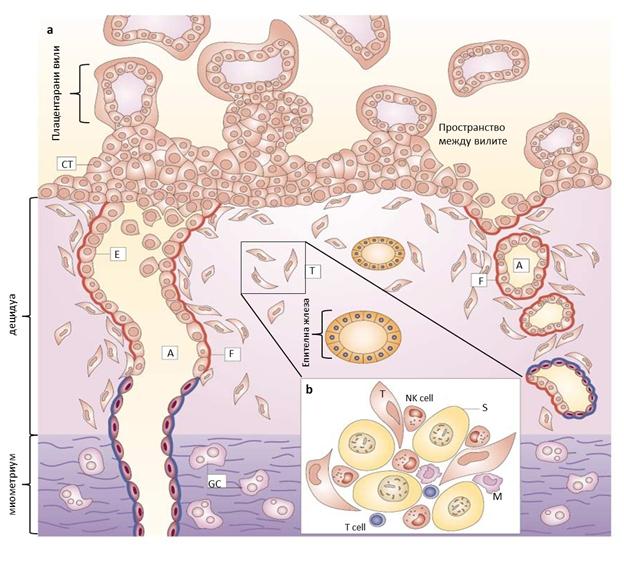 NK cells 1