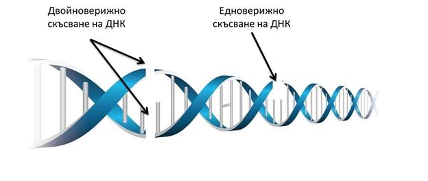 SDI Скъсване на ДНК